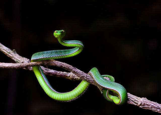 Serpiente de Vietnam. Peligros viajar solo Vietnam